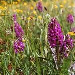 Сотрудник музея Североуральска нашла орхидеи на... болоте