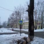 В Североуральске спиленный тополь упал и повредил светофор на перекрестке улиц Каржавина - Белинского