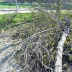 ФОТОФАКТ: в Североуральске на Аллее памяти вместо тополей срубили... клен