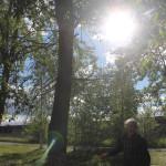 Жильцы одного из североуральских домов просят спилить тополя. Говорят, деревья опасные (видео)