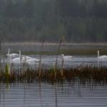 В Североуральск вернулись лебеди