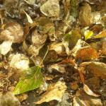 Почему этим летом так рано стала облетать листва с тополей? Причины и следствия