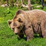 Грибник из Сосьвы выжил в схватке с медведицей
