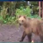 В Волчанске медведь три дня приходил в сады. Видео