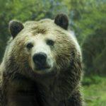 Блог. Анна Квашнина: «Павший скот «привел» к североуральскому селу медведицу с медвежатами»