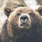 За год в Свердловской области можно застрелить 494бурых медведя. Указ подписал губернатор
