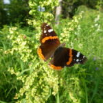 Североуральск посетил адмирал: удивительные факты о... бабочках